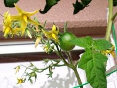 0916BE_tomato.jpg