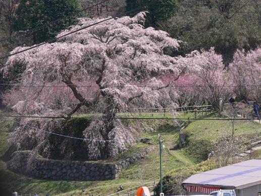 2010年の又兵衛桜