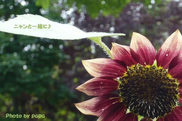変わり向日葵