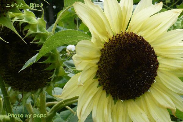 レモン色向日葵
