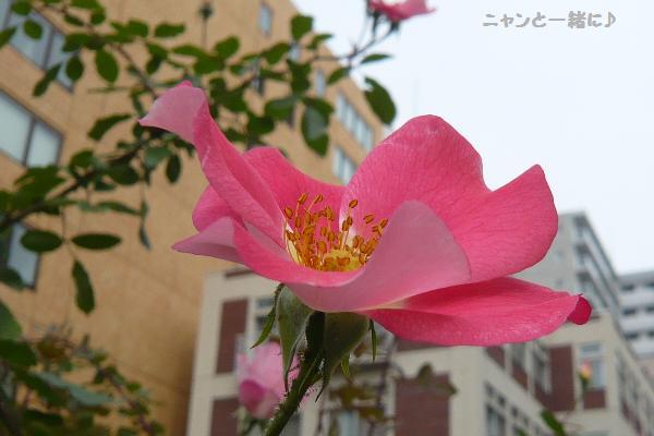 924薔薇