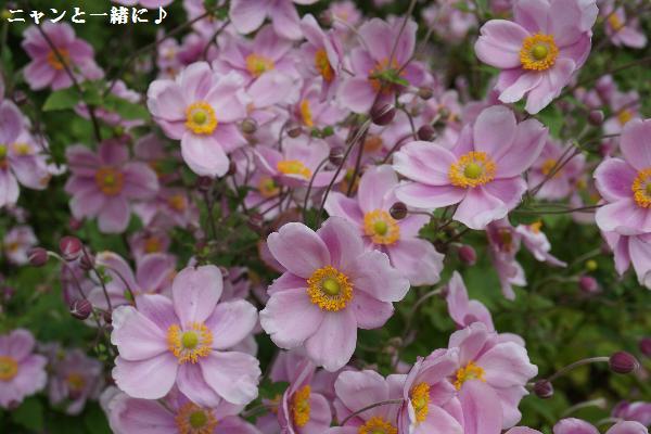 ニャンシュウメイ菊