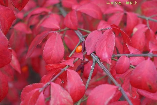 赤い葉1021
