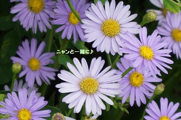 borudo-giku82394.jpg