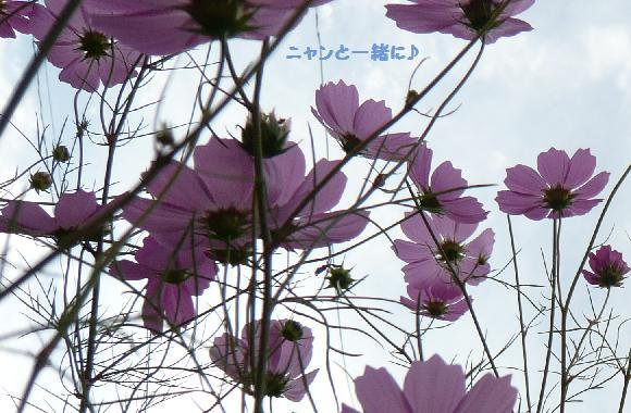kosumosu924.jpg