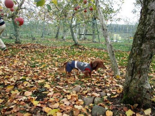 賑やかなリンゴ畑10