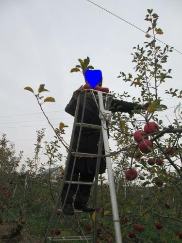 賑やかなリンゴ畑11