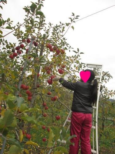 賑やかなリンゴ畑6