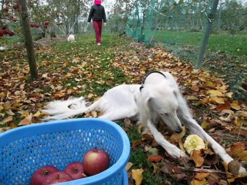 賑やかなリンゴ畑7