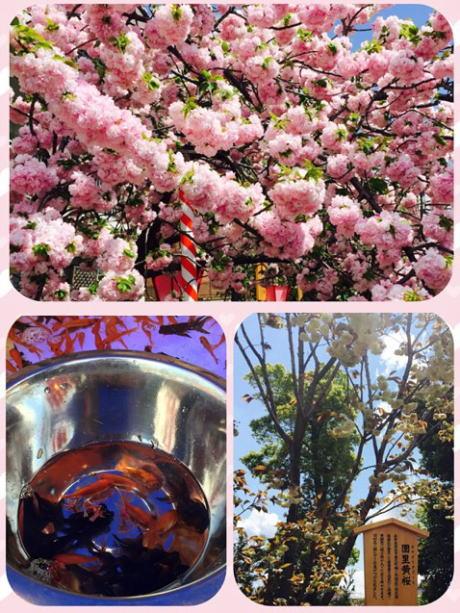 2015年 造幣局の桜の通り抜け