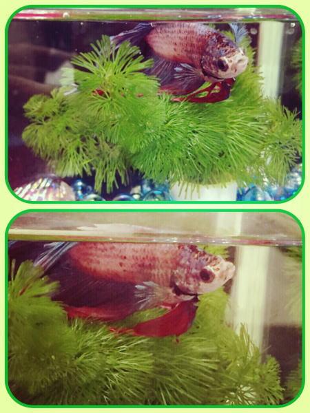 熱帯魚 ベタちゃん