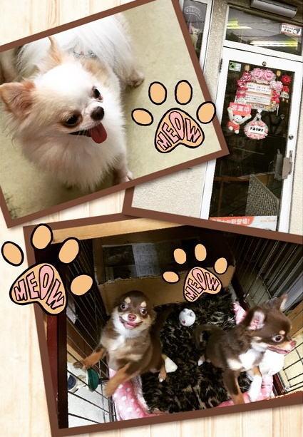 ペット検索サイト【ペットポンタ】見学に行ったお店のチワワ