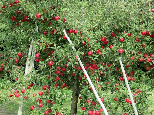 りんごのツリー