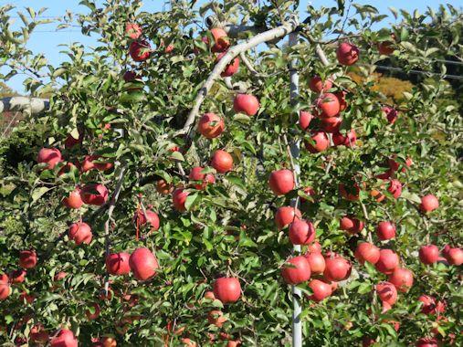 リンゴの木!!