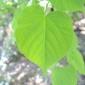 Dhp379et380菩提樹の葉