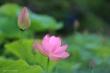 Dhp419et420蓮の花2