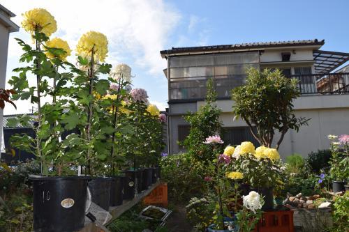 下町芸術祭 菊