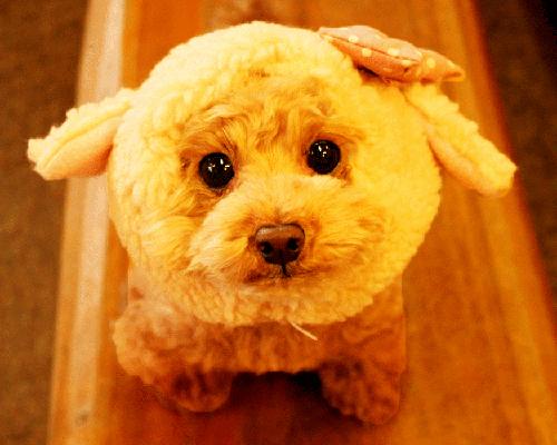 犬種別 チワワ トイプ-ドル 柴犬3