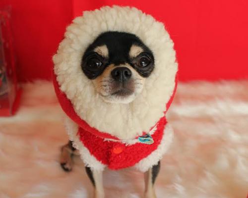 犬種別 チワワ トイプ-ドル 柴犬5