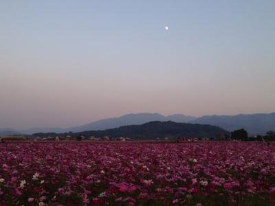 秋桜と天香具山