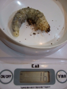 ニジイロ幼虫20151126
