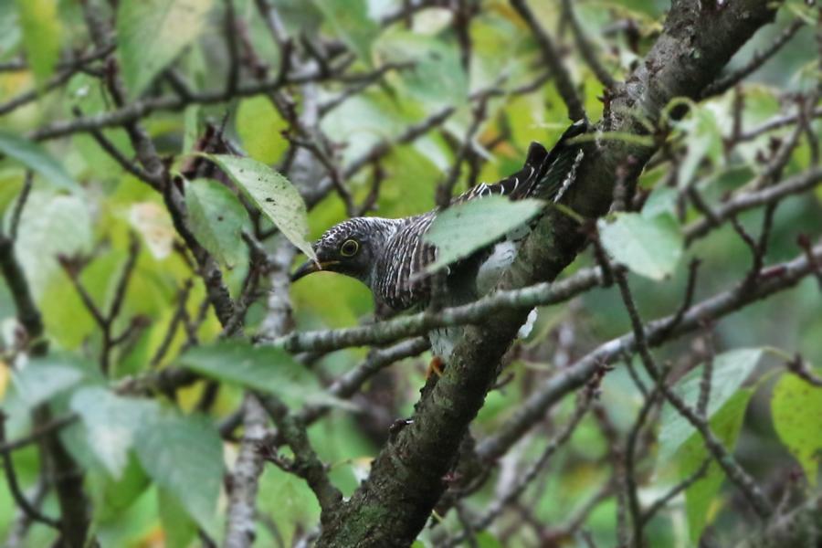 2015-9-1カッコウ幼鳥475A9000
