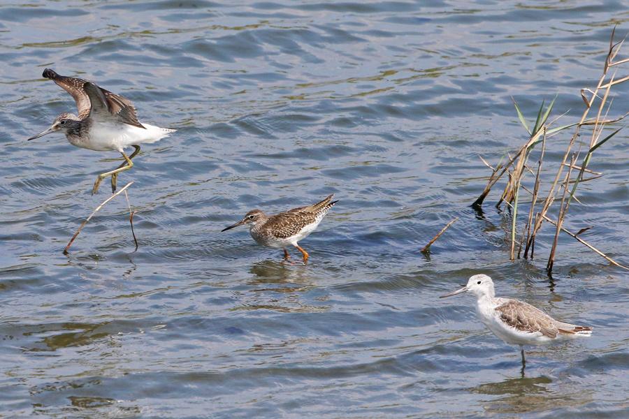 2015-9-4アカアシシギ幼鳥475A9830