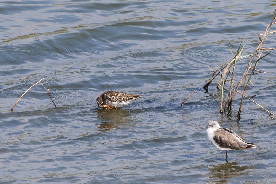 2015-9-4アカアシシギ幼鳥475A9837