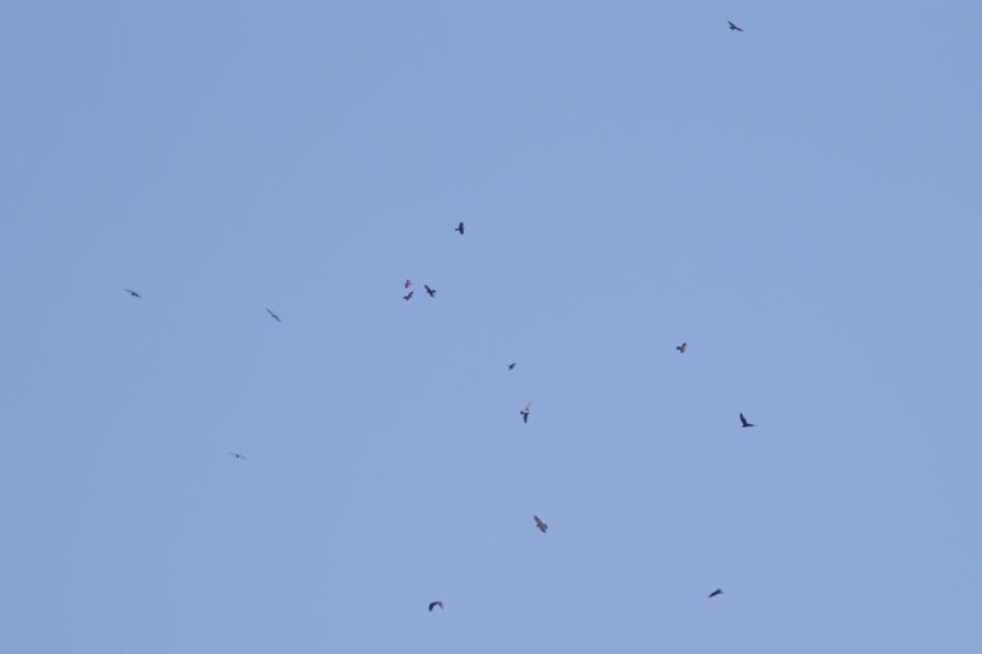 2015-9-鷹の渡りAR0J8945