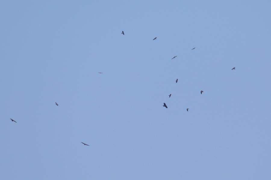 2015-9-鷹の渡りAR0J8947