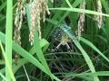 コズミック農法クモ