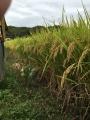 コズミック稲作