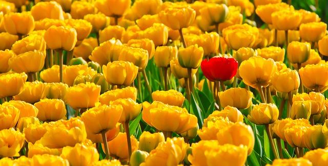 tulips-15155_640.jpg