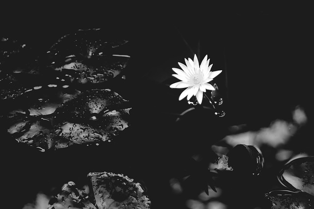 water-lily-1015215_640.jpg