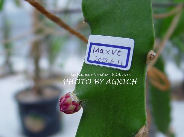 MaxVC1