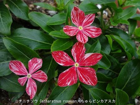 沖縄生まれの日日草