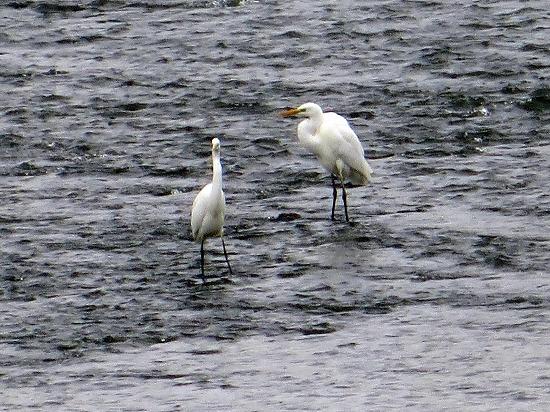 白鷺と川鵜