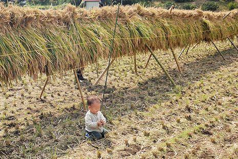 稲刈り2015年秋