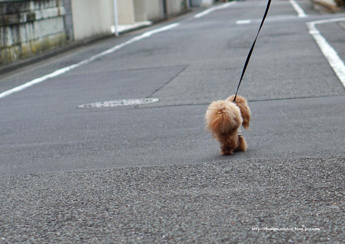 チビプードル☆モコの毎日 モコB