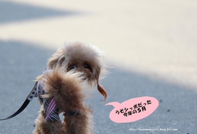 チビプードル☆モコの毎日 モコ2015年5月