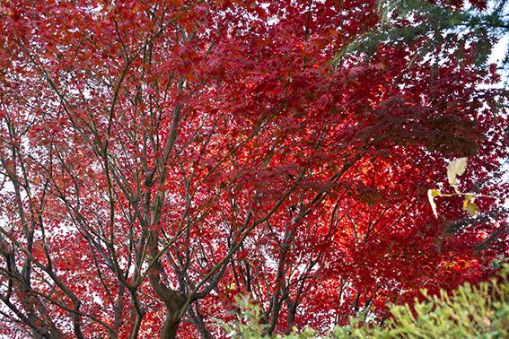 近所の紅葉2