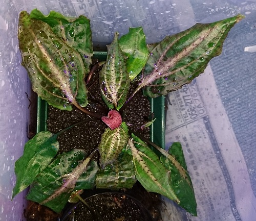 Cryptocoryne sp.Brilliant-Rosa