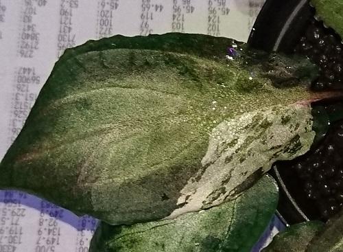 クリプトコリネ スーパープラチナ斑入り
