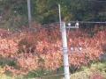 柿紅葉1113 (2)