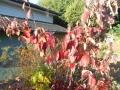 我家の紅葉3