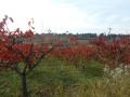 柿紅葉 (1)