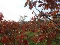 柿紅葉 (2)