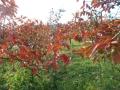 柿紅葉 (3)