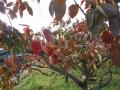 柿紅葉 (5)