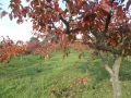 柿紅葉 (7)